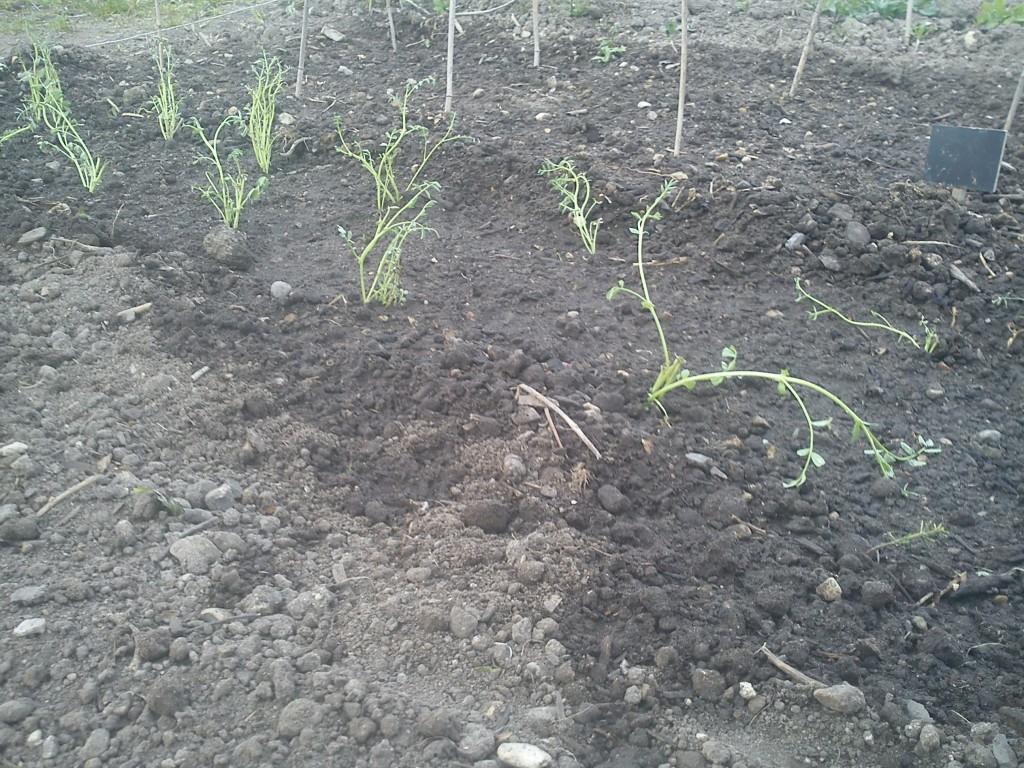 Kikærteplanter