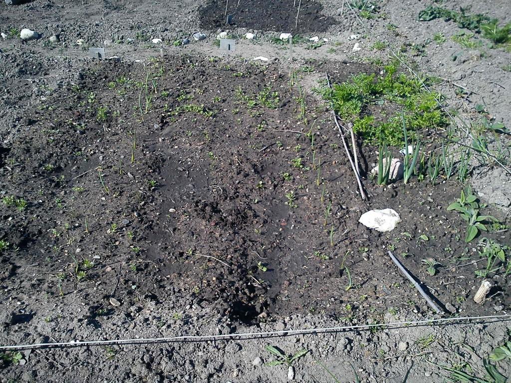 Hvidløgene er spiret ved siden af gulerødderne. Ovre til højre persille og topløg.