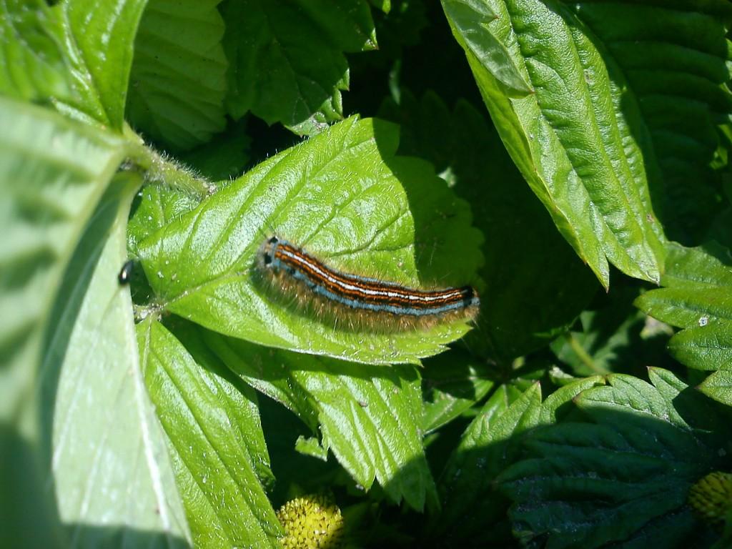En smuk larve
